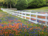 Texas Bluebonnets and Paintbrush Along White Fence Line, Texas, USA