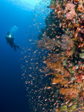 Diver With Light Next To Vertical Reef Formation, Pantar Island, Indonesia