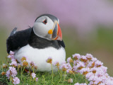 Atlantic Puffin and Sea Pink Flowers, Saltee Island, Ireland