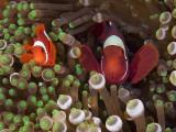 Buy Two Clownfish Among Anemone Tentacles, Raja Ampat, Indonesia at AllPosters.com