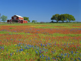 Paintbrush Flowers and Red Barn in Field, Texas Hill Country, Texas, USA
