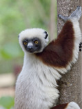 Coquerel's Sifaka, Ampijoroa, Ankarafantsika Reserve, Madagascar