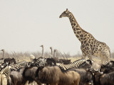 A Lone Giraffe Stands Tall at a Waterhole, Etosha National Park, Namibia, Africa