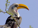 Profile of Yellow-Billed Hornbill Bird, Kenya