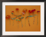 Zinnia Row on Orange
