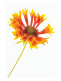 Gaillardia II
