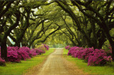 Beautiful Pathway Lined with Trees and Purple Azaleas,