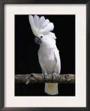 White or Umbrella Cockatoo