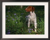 Brittany Spaniel, Domestic Gundog, USA