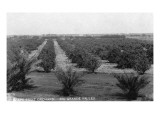 Texas - Rio Grande Valley Grapefruit Orchard