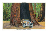 Big Basin, California - The Auto Tree