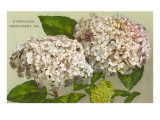 Hydrangeas, Nantucket, Massachusetts