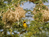Kenya, Laikipia, Lewa Downs; Speke's Weaver Perched Beside a Colony of Nests