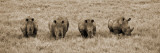 Kenya, Laikipia, Lewa Downs; a Group of White Rhinoceros Feed Together