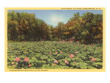 Lotus Beds, Parkersburg, West Virginia