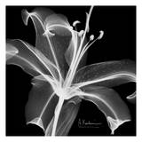 Lily White on Black