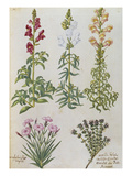 Snapdragons, Small Pink Dianthus and a Thyme. from 'Camerarius Florilegium'