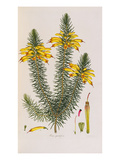 Erica Grandiflora, from Coloured Engravings of Heaths