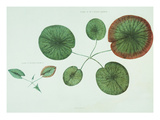Victoria Regia or the Great Water Lily of America (Young Plants, Frontispiece)