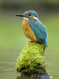 Adult Male Common Kingfisher, Alcedo Atthis, on a Mossy Branch
