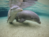 Bottlenose Dolphin (Tursiops Truncatus) Underwater Pair, Hawaii, Captive Animal
