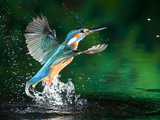 Buy Adult Male Common Kingfisher, Alcedo Atthis, Emerging Without a Fish at AllPosters.com