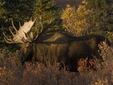 Alaskan Moose: Alces Alces; Denali, Alaska