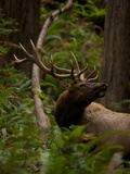 A Roosevelt Elk Bull in an Old Growth Redwood Forest