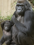 Endangered Western Lowland Mountain Gorilla, Mandara, and Baby, Kibbi