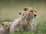 Cheetah (Acinonyx Jubatus) Mother and Eight to Nine Week Old Cubs, Maasai Mara Reserve, Kenya