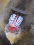 Mandrill (Mandrillus Sphinx) Male Portrait, Native to Africa