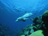 Bottlenose Dolphin (Tursiops Truncatus) Swimming over Coral Reef, Honduras