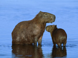 Capybara (Hydrochoerus Hydrochaeris) Mother and Young, Pantanal, Brazil