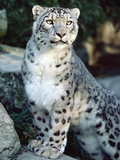 Snow Leopard (Uncia Uncia), Woodland Park Zoo, Seattle, Washington