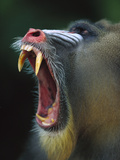 Mandrill (Mandrillus Sphinx) Adult Male Vocalizing Showing Huge Canine Teeth, Gabon