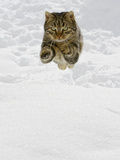 Domestic Cat (Felis Catus) Male Jumping in Snow, Germany