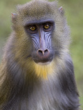 Mandrill (Mandrillus Sphinx) Juvenile Male Portrait, Native to Africa
