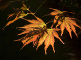 Japanese Maple Leaves, Acer Palmatum, Backlit