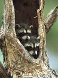 Raccoon (Procyon Lotor) Two Babies Peering Out from Hole in Tree, North America