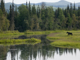 Moose (Alces Americanus) Juvenile Bull Walking in Landscape, Chena River, Alaska