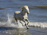 Camargue Horse (Equus Caballus) Running in Water at Beach, Camargue, France