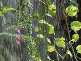 Close-Up of Vines in Tropical Rain, Indonesia