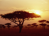 Umbrella Acacia (Acacia Tortills), Trees at Sunrise on Savannah, Masai Mara, Kenya
