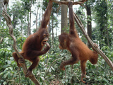 Young Orangutans (Pongo Pygmaeus) Pair Playing in Trees, Borneo