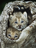 Canada Lynx (Lynx Canadensis) Kitten Pair Peering Out from Hollow Log, North America
