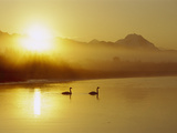 Trumpeter Swan (Cygnus Buccinator) Pair on Lake at Sunset, North America