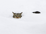 Domestic Cat (Felis Catus) in Deep Snow, Germany