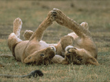 African Lion (Panthera Leo) Two Cubs Playing, Serengeti National Park, Tanzania