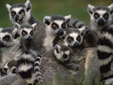 Ring-Tailed Lemur (Lemur Catta) Group, Washington Park Zoo, Portland, Oregon