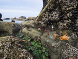 Giant Green Sea Anemone, Goose Barnacles, Ochre Sea Stars, Low Tide, Olympic National Park
